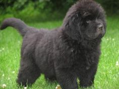 I found my new favorite puppy/dog.  Newfoundland puppies!  DARLING!!!  I want one!!!