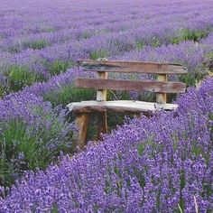 Sitting in a field of Lavender