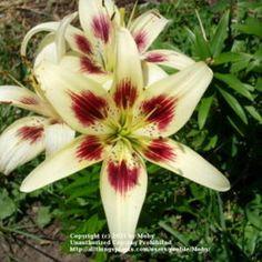 """Asiatic Lily """"Moxie"""""""
