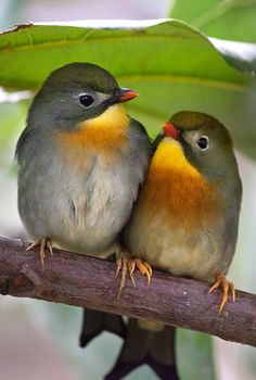 The Red-billed Leiothrix (Leiothrix lutea), also know as the Pekin Robin. The leiothrix is usually found in India, Bhutan, Nepal, Burma and parts of Tibet. The species was introduced to the Hawaiian Islands in 1918 and spread to all the forested islands except Lanai. Its population on Oahu crashed in the 1960s and it disappeared from Kauai, but is now common and increasing on Oahu.