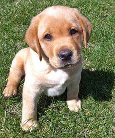 Abe-the-Labrador-Retriever #dale-holman-maine