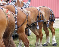 Belgian horses in harness equine photography. via Etsy.