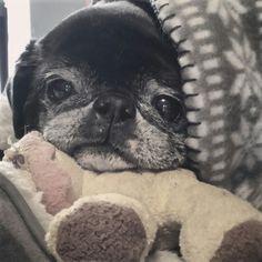 Snuggly pug ❤