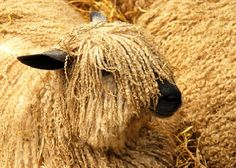 Wensleydale - a Wensleydale ram is the sire of all our lambs this year