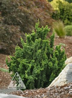 Chamaecyparis obtusa Chirimen: Each narrow, upright tree becomes a cluster of thick, upright shoots that resemble bottlebrushs, with both juvenile and adult foliage in shades of blue and green. Evergreen Garden, Evergreen Shrubs, Trees And Shrubs, Boxwood Bonsai, Conifer Plants, Dwarf Trees, Plant Catalogs, Small Trees, Landscaping Plants