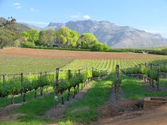 Thelema Mountain Vineyards, Cape South Africa, Vineyard, Cape, Mountain, Outdoor, Mantle, Cabo, Outdoors, Vineyard Vines