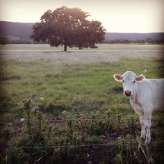 In #Texas, the cows photobomb. #CaptureTX