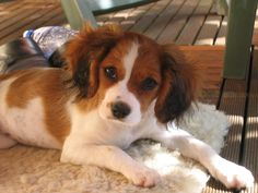 Puck, my friends dog. She's a King Charles/ Cavalier mix. Sweet nature but loves rolling in sh**!!