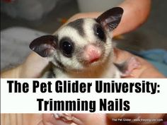 The Pet Glider University - Nail Trimming and Sugar Gliders - YouTube