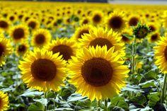 Sonnenblumen sorgen mit ihrer fröhlichen Ausstrahlung für gute Laune im Garten. Wir haben für Sie 10 nützliche Tipps für schönere Sonnenblumen zusammengestellt.