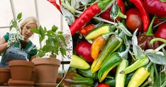 GUIDE: Odla chili – så går du tillväga från frö till planta | Land.se Squash, Chili, Stuffed Peppers, Vegetables, Tomatoes, Garden, Plants, Tips, Compost