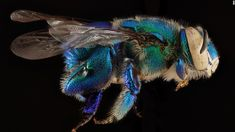 There are an estimated 20,000 bee species worldwide, including those with green and blue bodies. This bee was collected from Biscayne National Park near Miami. CNN 'The amazing diversity of bees'