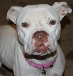 Reesa is a 3 year old spayed female #boxer mix who weighs about 50 lbs and is DEAF. Reese was rescued from ACCT in Philly after being found as a stray. All Reesa wants is someone to pay attention to her. She's a very sweet and lovable girl who enjoys cuddling and getting into a little Reesa ball to sleep. http://www.doggielife.com/reesa/dogs/RBQKLP