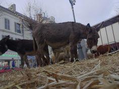 Pour les festivités et son marché de Noël, Chinon a invité les animaux de la ferme. Horses, Animals, Farm Animals, Animais, Animales, Animaux, Animal, Horse, Dieren