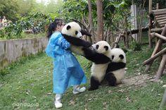 #panda #pandas How to become a long-leg panda