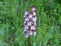 Orchidee pic Irene Belli #Maremmans