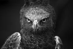 Martial Eagle By Josh Wyborn~THE LOOK...