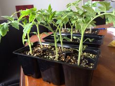 Hawaiian tropics tomatos | perfect for desert climate | tomato seedling | 3 weeks old seedlings Tomato Seedlings, Plants, Flora, Plant, Planting