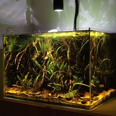 The ever-evolving planted blackwater/botanical-style tank 🐟🍂🍃 Biotope Aquarium, Nature Aquarium, Paludarium, Black Water, Aquascaping, Layout Inspiration, Water Tank, Fish Tank, Beautiful Landscapes