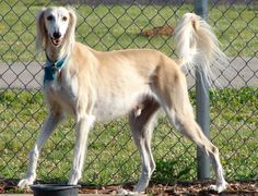 Saluki. They are members of the hound group. They are great gazelle hunters. They stand at 23-28 inches at the shoulder and weigh about 40-60 pounds.