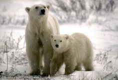 Santa's home at the North Pole is melting. He and all the majestic animals who live there, like these polar bears, need your help.