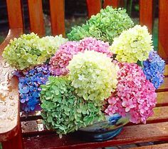 """Hydrangea    Plant 4' to 6' apart   Place in full sun to shade   Water 1"""" or more per week   Fertilize during growing season; discontinue use during winter dormancy   Blooms late spring/early summer to frost   Matures to 5'H in 2 to 3 years   perennial   USDA hardiness zones 3 through 9"""