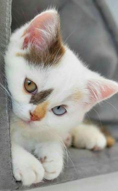 Pretty Cats, Beautiful Cats, Animals Beautiful, Beautiful Gorgeous, Pretty Kitty, Majestic Animals, Beautiful Images, Cute Cats And Kittens, Kittens Cutest