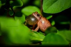 Spring Peepers, Spring Peeper Pictures, Spring Peeper Facts - National Geographic