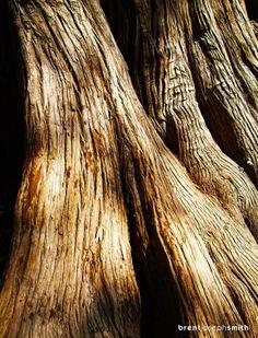 Flowing Bark -- Photographer: Brent Joseph Smith #tree #naturephotography