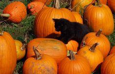 black kitten with pumpkin - Penelusuran Google