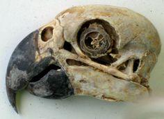 http://coyotlprole.deviantart.com/art/Stock-Parrot-Skull-lateral-62744914