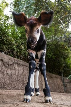 The San Diego Zoo recently welcomed a handsome new resident. Okapi mom, Mbaya, gave birth to her first calf. Only a few zoos in the United States house the endangered Okapi, and four-week-old Mosi (MO-see) became the first of his species to be born at the San Diego Zoo in four years.