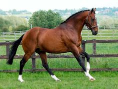 The Oldenburg Horse from Germany is used for all European riding disciplines.