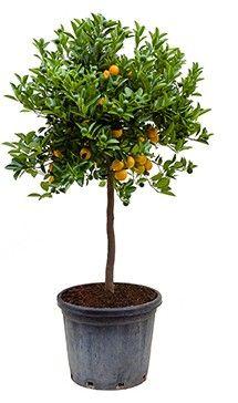 Sinaasappelboom XXL