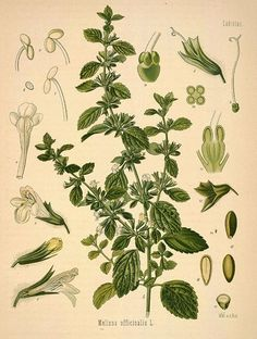 Melissa officinalis — Lemon Balm [anxiety + stress]