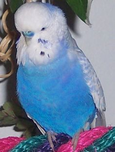 budgies parakeets - Yahoo Image Search Results Budgie Parakeet, Parakeets, Exotic Birds, Perfect Photo, Yahoo Images, Funny Cute, Animals And Pets, Cute Pictures, Image Search