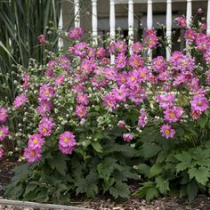 Anemone Fall in Love Sweetly - #Fallisforplanting Perennials - National Garden Bureau Hardiness Zones 4-8 Front Yard Flowers, Pink Plant, Anemone, Japanese Anemone, Perennials, Hydrangea Paniculata, Anemone Flower, Peonies Garden, Fall Plants