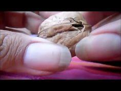 Como germinar una nuez para obtener un nogal - YouTube