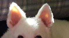 """My Eskie """"NIKI DOGG"""" ♡♡♡♡♡♡"""