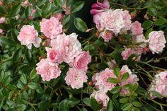25 talajtakaró növény, melyekkel gyönyörűvé teheted a kertet! Flower Garden, Fairy, Plants, Garden, Outdoor, Rosa, Rose, Flowers