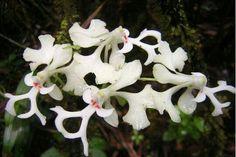 L'orchidee de la reunion