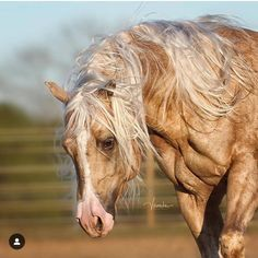 Quite a Remarkable Looking Palomino. Andalusian Horse, Friesian Horse, Palomino, Arabian Horses, All The Pretty Horses, Beautiful Horses, Animals Beautiful, Horses And Dogs, Animals And Pets