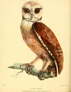 Oh the owl is an elegant fowl. Zoological researches in Java, and the neighbouring islands / - Biodiversity Heritage Library