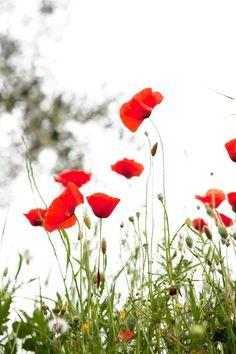 Poppies ❗#umbria ....