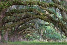 Untitled.  Spanish moss draped live oaks near Charleston SC.  Photo by Bill Swindaman, via Flickr (http://www.flickr.com/photos/palmtree/4665558531/in/photostream/).