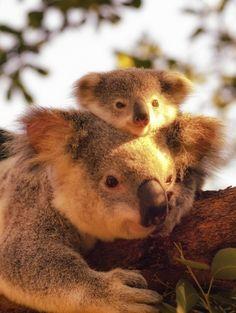 无尾熊 Wuzzy Koalas