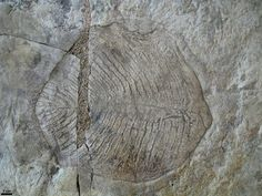 Yorgia waggoneri fossil - First discovered on the Winter Coast of the White Sea in Russia by US Paleontologist Ben Waggoner, this creature lived in the Ediacaran Period around 555 million years ago. Image from Wikipedia.