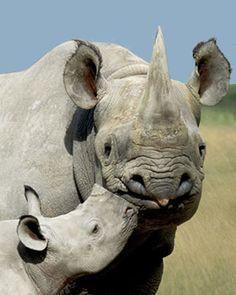 Top 10 Rare Animals, Javan rhinoceros