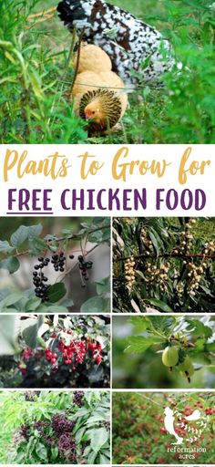 Grow these 12 perennials as edible landscaping that will create free chicken food, shade, and shelter from overhead predators for your flock. #chickens #feed #free #homesteading #permaculture #reformationacres