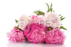 pivoines: belles pivoines roses sur un fond blanc